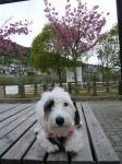 公園の桜の前で